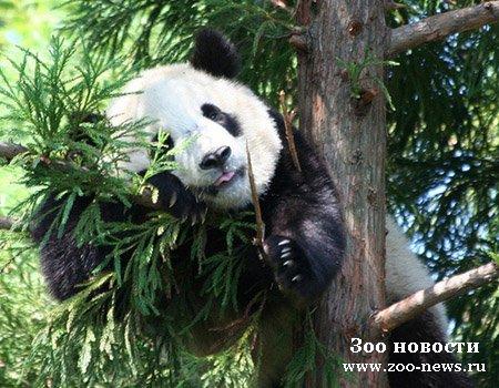 """Полицейские собаки научат больших панд """"жизни"""""""