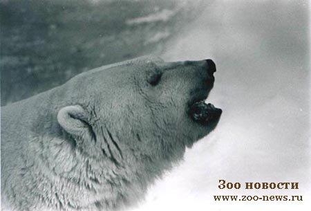 Участников лыжной экспедиции преследует огромный белый медведь